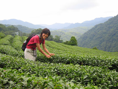 Shiwen Picking Baozhong Tea