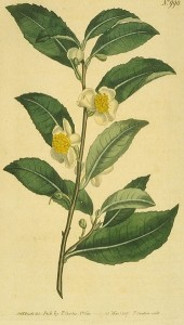 Botanical illustration: Camellia sinensis