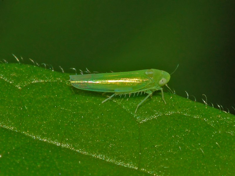 Leafhopper responsible for bug bitten teas