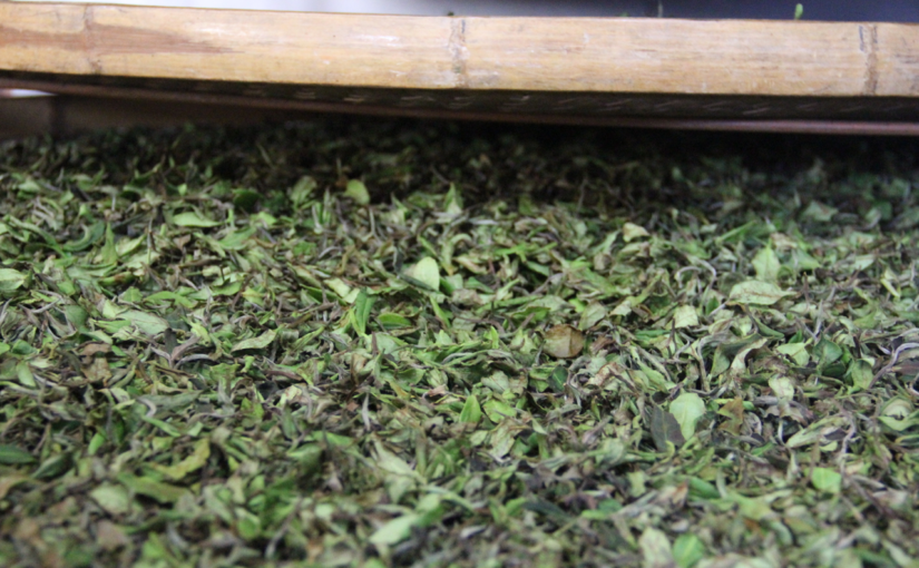 Tea leaves being processed into Oriental Beauty wulong, during the enzymatic browning stage