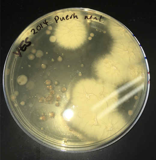 Dish cultivating microbes from puer tea
