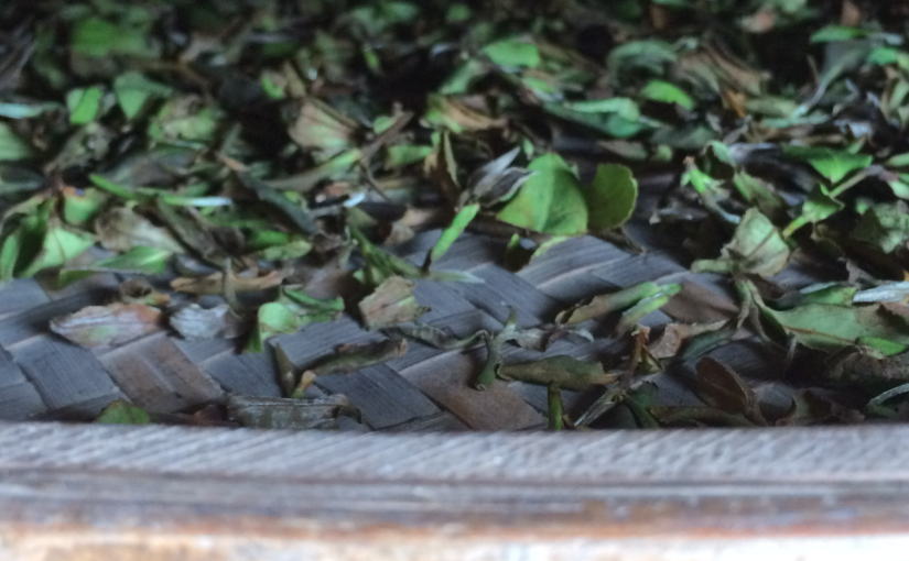 Withering tea leaves in oolong tea production